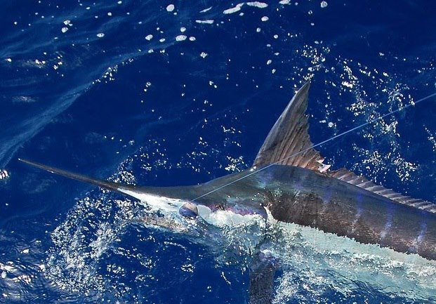 Blue Marlin caught 12-28-12 on the Mr.Z