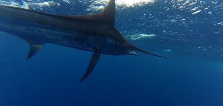 Mr.Z Blue Marlin 7-20-13