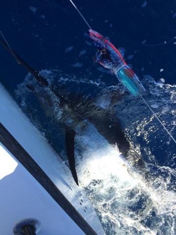 Blue Marlin Mongo