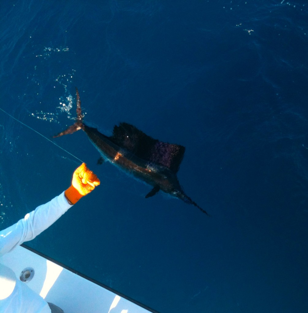 Superbowl Sailfish